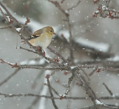 gold finch (jimbobphoto) Tags: snowflake winter snow cold tree bird gold branches finch cherrytree