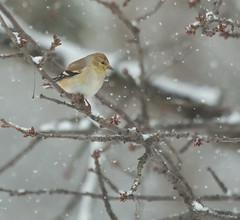 gold finch (jimbobphoto) Tags: winter snow cold tree bird