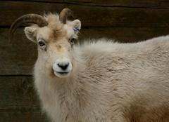 Dall Sheep 2 (Emily K P) Tags: white animal zoo sheep wildlife horns dall milwaukeecountyzoo