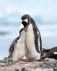 Gentoo Penguin Baby (Christopher.Michel) Tags: sea ice penguins kayak antarctica neko adventurer chinstrap