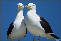 DSC_2654 Kelpmeeu (johann.spies) Tags: bird kelpgull larusdominicanus seemeeu vols kelpmeeu