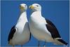 DSC_2654 Kelpmeeu (johann.spies) Tags: bird kelpgull larusdominicanus seemeeu voëls kelpmeeu