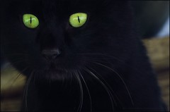 Glowing (Konny D.) Tags: cat blackcat chat greeneyes ojosverdes gato katze gatto kater tomcat chatnoir gatonegro yeuxverts schwarzekatze gattonero ojosbrillantes leuchtendeaugen gneaugen occhiverde occhiluminosi yeuxrougeoyants
