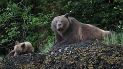(41) (Archie Richardson) Tags: khutzemateen grizzlybear cub eagle oceanlightii