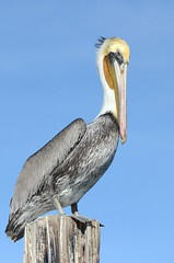 Brown Pelican (Pelecanus occidentalis) DDZ_5860 (NDomer73) Tags: bird december pelican best better brownpelican elkhornslough 2015 17december2015