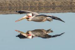 Pelican Reflection (CraigGoodwin2) Tags: