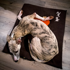 Séance de yoga (Clydomatic) Tags: chien yoga posture asana lévrier
