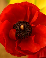 Red Ranunculus, My Favourite! (L L Stewart) Tags: flowers red macro closeup petals stamens petal redflower brightred redranunculus trafficlightred