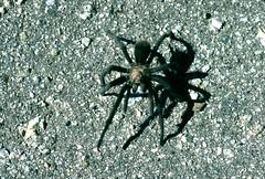 Tarantula (birdgal5) Tags: california tarantula essexroad sanbernardinocounty 55mmf35micropc nikkormatel providencemountainsstaterecreationarea providencemountainssra