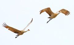 sandhill cranes at Cardinal Marsh IA 854A3121 (lreis_naturalist) Tags: county cardinal reis iowa cranes larry marsh sandhill winneshiek