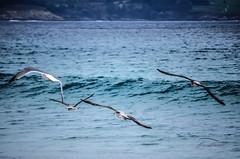 Gaivotas en Langosteira-Fisterra. (nievestaboada1) Tags: gaivotas galicia fisterra praiapuntalangosteira