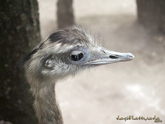 Avestruz (Chanyto's Cosplay) Tags: david de mexico ave avestruz estrella mota chapa bioparque chanyto lattuada