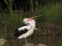 Australian Pelican 4 of 6 (Vas Smilevski) Tags: bird birds birding feathers australia pelican nsw waterbirds australianbirds australianpelican pelecanidae westernsydney pelecanusconspicillatus mc14 olympusomdem1 mzuiko40150mmf28pro