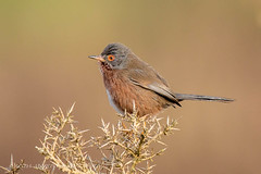 Dartford Warbler (Sylvia undata) (Linda Martin Photography) Tags: uk nature birds wildlife ngc npc dorset coth sylviaundata dartfordwarbler canon5dmarklll ferndowncommon