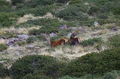 Female red deer (Morze.Stefano) Tags: red female deer rosso cervo cervus elaphus