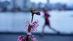 False Creek Seawall: Signs of Spring (planted city) Tags: city pink urban canada flower reflection water vancouver landscape spring harbour dusk walk britishcolumbia cities running run coastal falsecreek pacificnorthwest daphne alive yvr runner westcoast pnw urbanism urbanphotography signsofspring