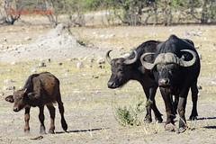 cape buffalo1 (syncerus caffer) (Colin Pacitti) Tags: buffalo outdoor wildanimal botswana chobe capebuffalo synceruscaffer coth specanimal buffalocalf buffalofamily buffalobull fantasticwildlife buffalocow coth5 hennysanimals