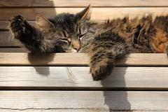 Lågt (Annica Spjuth) Tags: cat katt chilla lagt fotosondag fs160403