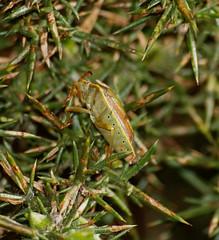 2016_03_0606 (petermit2) Tags: yorkshire barnsley rotherham southyorkshire shieldbug rspb oldmoor dearnevalley gorseshieldbug