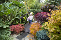 Walking amongst the colours of autumn (Four Seasons Garden) Tags: uk bridge autumn two england colour leaves garden four japanese wooden maple october seasons daughter award grand foliage national age years deciduous winning walsall 2015 acers