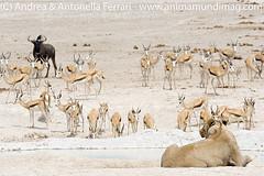 _AND7792 (AnimaMundiMagazine) Tags: depression namibia savanna dolomite saltpan southernafrica etoshapan etoshanationalpark calciumdeficiency salinedesert desertadaptation