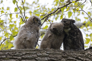 Great Horned Owl Affection