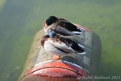 Birds : Oiseaux du Jardin des Tuilleries (Nabil Molinari Photography) Tags: birds de du parc oiseaux sceaux
