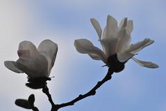Magnolia Stellata. London (Environmental Artist) Tags: park uk blue white plant flower london art japan garden photography spring europe contemporary magnolia delicate gentle subtle