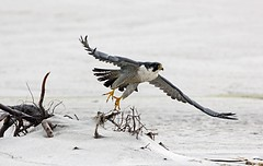 Adult Peregrine Falcon - Nauset, Outer Beach. Chatham, MA. 3/17/16 (petertrull) Tags: elements