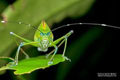 Katydid (Tettigoniidae) - DSC_9877 (nickybay) Tags: singapore katydid tettigoniidae riflerangeroad spermatophore spermatophores nangkatrail