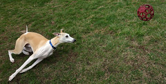 Play Like a Puppy (DiamondBonz) Tags: dog ball play hound run whippet spanky