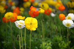 Poppy flowers (ys.khoo) Tags: colors japan garden photography tokyo spring colorful afternoon cosmos backlighting beautifulflowers showamemorialpark flowersfield japangarden cosmosflowers yskhoo