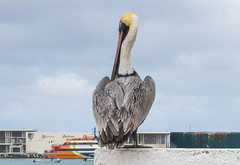 Pelecanus occidentalis (GaboUruguay) Tags: ocean sea brown bird beach animal mexico island riviera natural maya free pelican ave pajaro cozumel pjaro pardo caribe pelcano