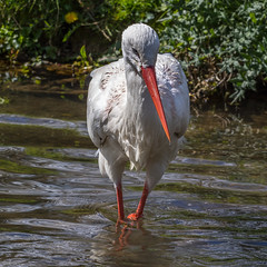 White Stork (andymulhearn) Tags: canon whitestork canonef70200mmf4lusm flickrbirds eos7d2 cotswoldbirdland