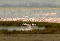 Flamingos - Flamands (charbonjoh) Tags: naturemasterclass