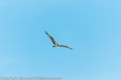 _DSC4785.jpg (orig_lowolf) Tags: usa dog nature oregon nikon flickr osprey lakeoswego turkeyvulture d300s sigma150500mmf563afapodgoshsmtelephotozoom