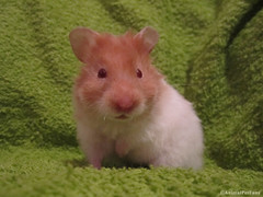 Hamster srio - Syrian Hamster (Mesocricetus auratus) (AnimalPetFans) Tags: pet pets animal animals hamster fans syrian criceto auratus srio mesocricetus