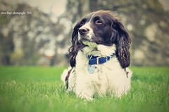 Billy (SteveH1972) Tags: park uk greatbritain england pet pets dogs animal outdoors town europe barton spaniels englishspringerspaniel northernengland canonef70200mmf28lusm northlincolnshire bartonuponhumber canon600d baysgarthpark