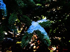Safe in the Shade (photo fiddler) Tags: canada cold ice woods april spruce 2016 highhead