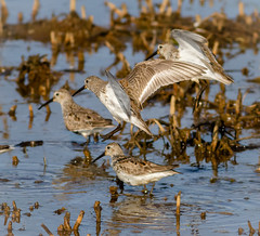 Dunlin (tresed47) Tags: birds us content places delaware folder waders dunlin takenby 2016 bombayhook peterscamera petersphotos canon7d 201604apr 20160425bombayhookbirds