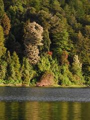 Lago Huishue (Mono Andes) Tags: chile bosque andes tineo reflejos notro chilecentral floranativadechile regindelosros lagohuishue