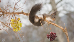 grape branch (Geert Weggen) Tags: winter red food sun snow plant tree cute ice nature look animal closeup backlight mammal rodent stand squirrel funny bright top trunk grape geert weggen ilobsterit hardeko