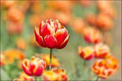 noordwijkerhout (heavenuphere) Tags: flowers red orange netherlands up yellow landscape spring europe close nederland tulip noordwijk 70200mm zuidholland noordwijkerhout bollenstreek bulbfields southholland