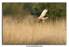 Marsh Harrier (Mark Ollett) Tags: uk bird nikon norfolk flight hunter avian birdofprey marshharrier