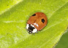2 Spot Ladybird (Prank F) Tags: macro nature closeup insect wildlife beetle ladybird ladybug wildlifetrust 2spot northantsuk ditchfordlakesmeadows