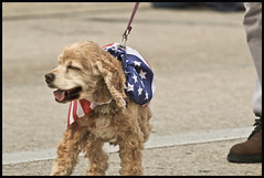 Dog Parade 2016 #4 (hamsiksa) Tags: dogs florida parades mardigras deland spaniels cockerspaniels centralflorida canines subtropicpeninsula