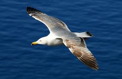 Planando (ondaeoliana) Tags: sea mediterraneo mare seagull sicily sicilia gabbiano
