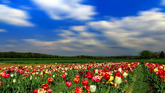 Tulip Field (Radek Lokos Fotografie) Tags: canon eos reisen long exposure outdoor feld blumen tulip freiburg landschaft tulpe 6d radeklokosfotografie