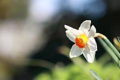 Narciso (Adri 79) Tags: narciso canon7dmarkii sigma105mmf28exdgoshsm adrianodavanzo