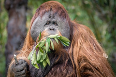 Big Daddy (helenehoffman) Tags: nature animal sumatra indonesia mammal wildlife orangutan ape sandiegozoo primate satu greatape pongoabelii specanimal flangedmale pongoabeli conservationstatuscriticallyendangered